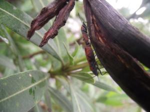 Two Lygaeidae (Lygaeus simulans) copulating