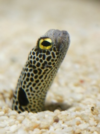 A garden eel courtesy of wiki commons