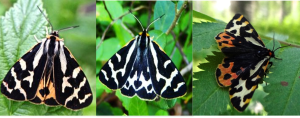 Photos from left to right: A yellow male, a white male and a female. Courtesy of Bibiana Rojas.