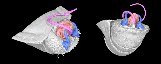 Micro-CT scan showing external genitalia of Lygaeus simulans following mating. The long penis can be seen in pink, and the paired claspers in blue.