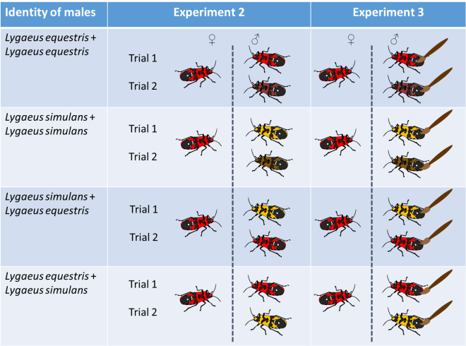 Diagram showing the design of experiments 2 and 3. Females (on the left) were paired with two males according to the four treatments. Red bugs indicate Lygaeus equestris while yellow bugs indicate Lygaeus simulans. The brush indicated that males were washed with hexane prior to being introduced to the female.