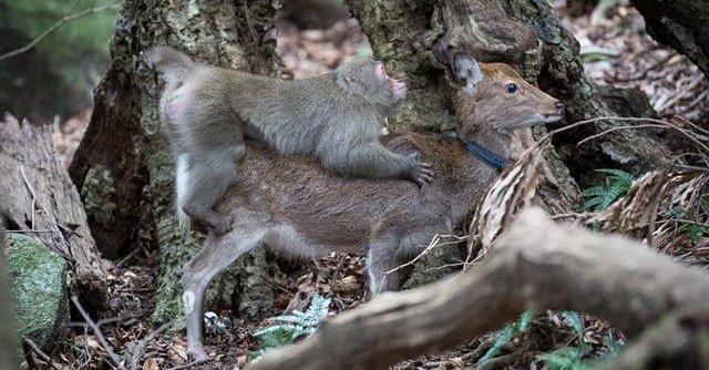 monkey_deer